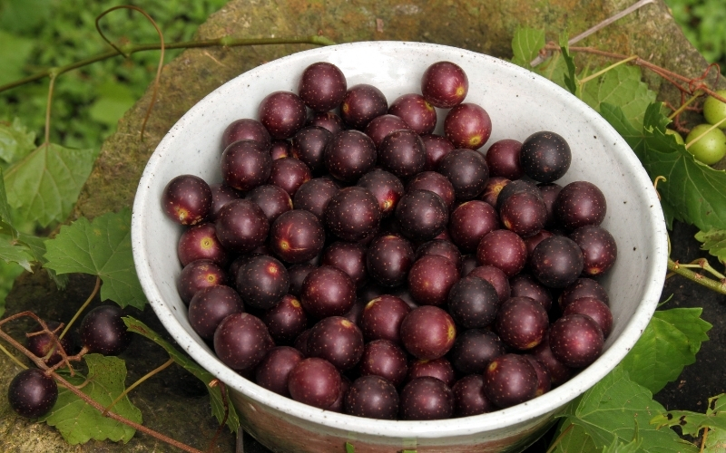 image of Are Muscadine Grapes Keto-friendly