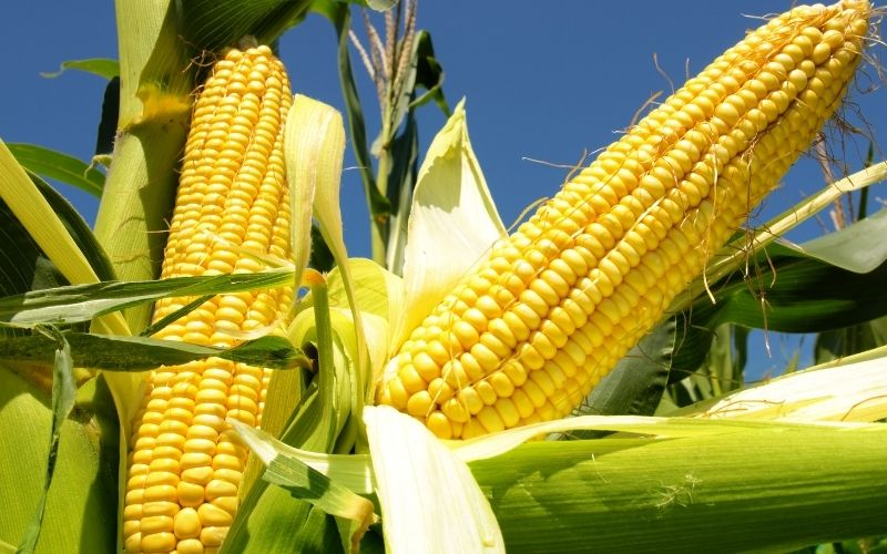 image of Is Corn Keto Friendly Low Carb Diet